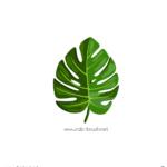 몬스테라 잎사귀 일러스트 ai 무료다운로드 free Monstera Leaf vector